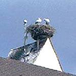 3 Störche in einem Storchennest auf dem Kirchturm von Holzhausen