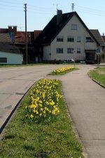 Narzissen am Ortseingang Neuershausen 11.3.07