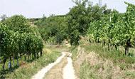 Weg durch einen Weinberg