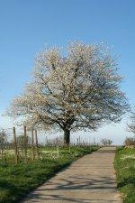 Kirschbaumblühte auf dem Marchhügel