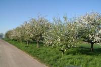 16. April 2007 Apfelbäume blühen bei Holzhausen